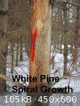 Pine Spiral (450 x 600).jpg - 105kB